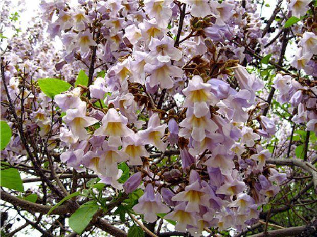 شجرة الباولونيا Paulonia tree