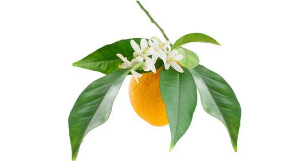 أوراق وأغصان شجرة البرتقال المر
