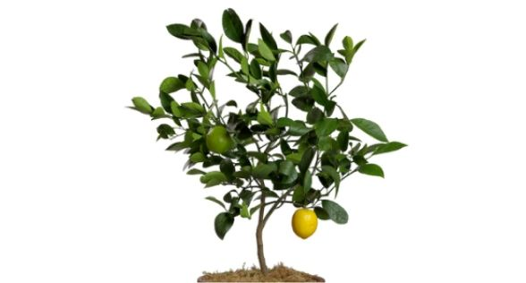 شجرة ليمون Lemon Tree