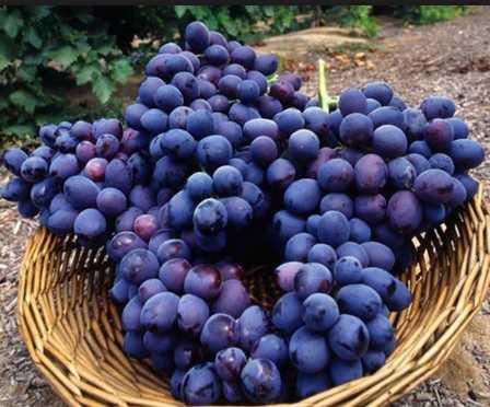 العنب البري Wild Grape