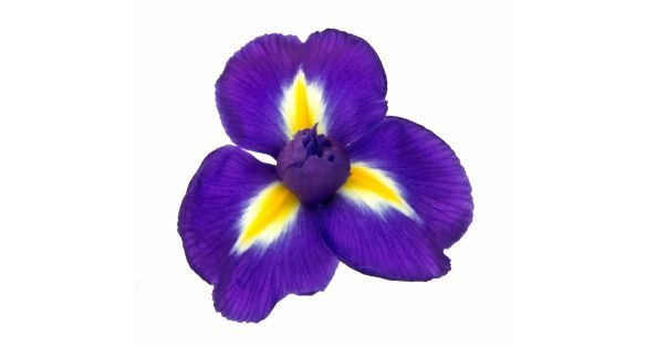 قزحية iris
