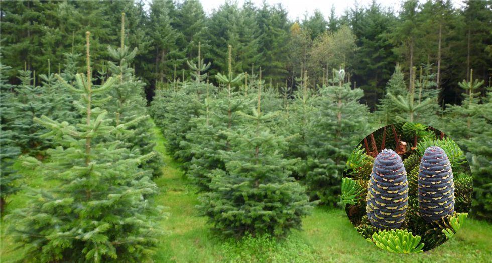 شجرة (خشب) التنوب Fir