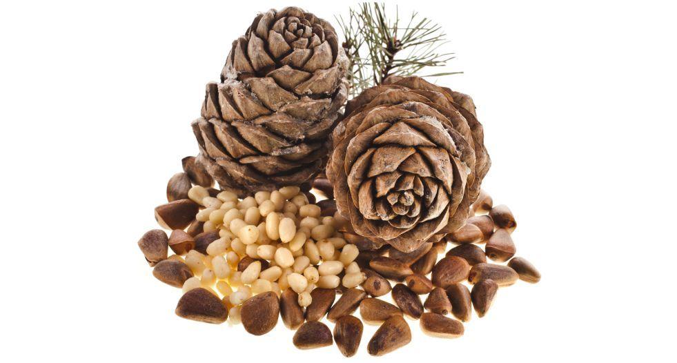 الصنوبر pine