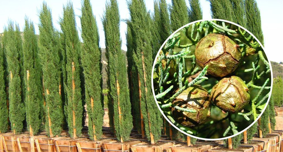 شجرة السرو Cypress