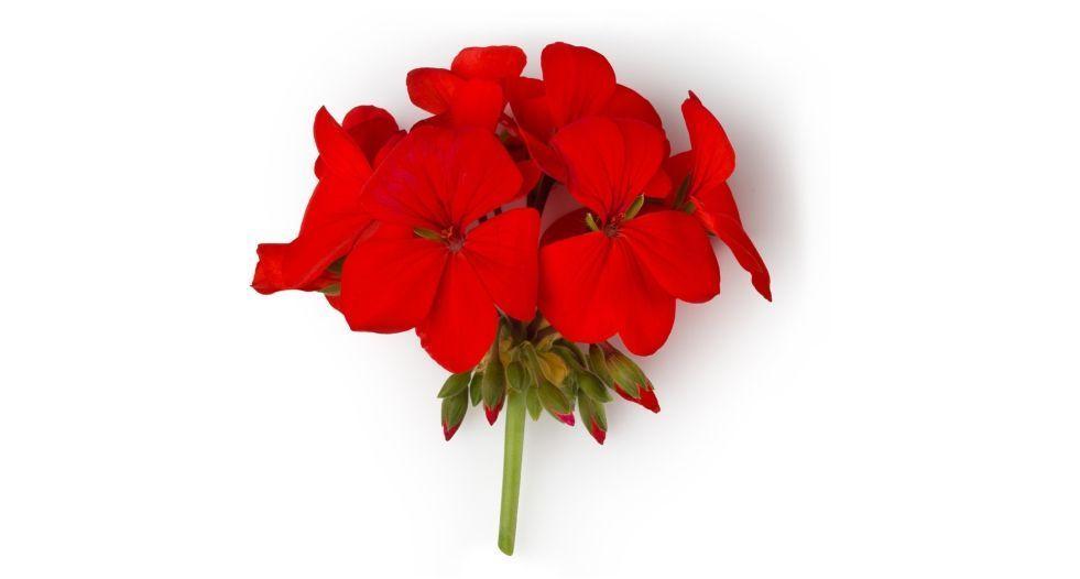 ابرة الراعي Geranium