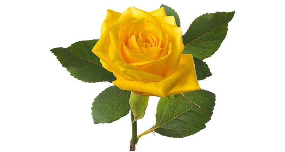 وردة صفراء Yellow Rose