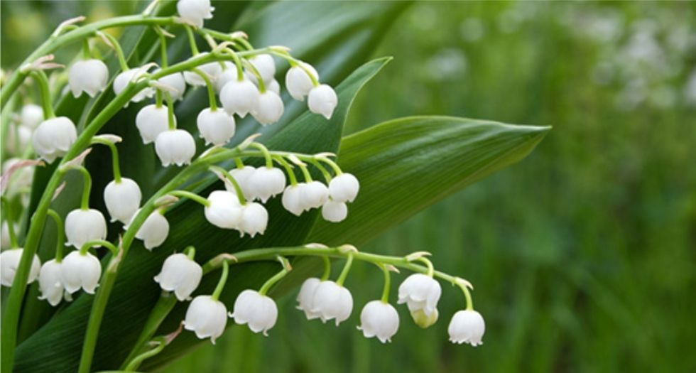 de9857ed7 زنبق الوادي Lily of the valley