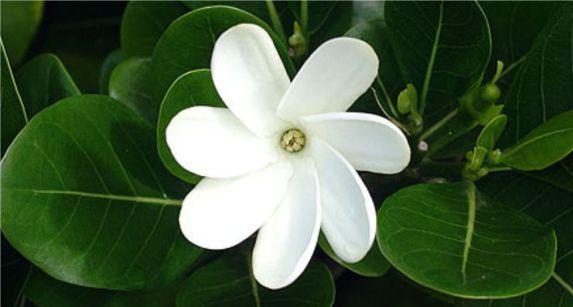 زهرة تياري Tiare Flower